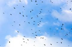 A large group of crows Stock Photos