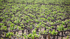 Grapevines 02 HD - stock footage