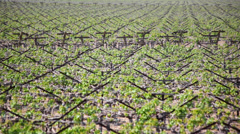 Grapevines 03 HD - stock footage