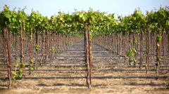 Grapevines 04 HD - stock footage