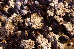 Stock Photo of background of mussels and barnacles exposed at low tide