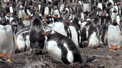 Penguins - Magellan and Gentoo - stock footage