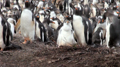 Penguins - Magellan and Gentoo Stock Footage