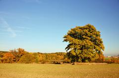 Oak tree standing alone in a field Stock Photos