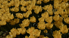 Yellow ottoman tulips, Istanbul, close up,tulips festival, sunny, tilting Stock Footage