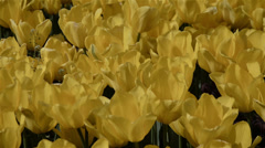 Yellow ottoman tulips, Istanbul, close up,tulips, sunny, panning Stock Footage