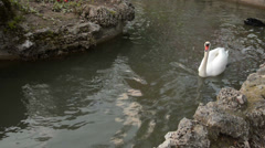 Dirty White and black swans are swimming, dark green pool, rocks, diffuse light Stock Footage