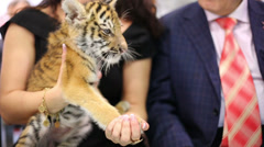 Closeup little tiger cub sits on hands of woman Stock Footage