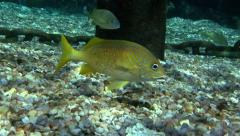 Yellow Reef Fish - Closeup Stock Footage