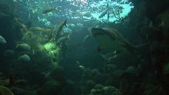 Reef Sharks & Reef Fish (shoot from below the shark) Stock Footage