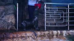 Fur seal dives into sea water of pool at oceanarium Stock Footage