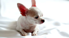Chihuahua lies on white blanket posing in front of camera - stock footage