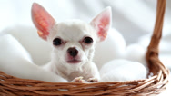 Stock Video Footage of Close-up chihuahua sitting in wicker basket on soft bedding