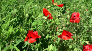Stock Video Footage of Wild red poppies (Papaver rhoeas).