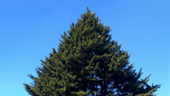 Stock Video Footage of Lone conifer tree triangle shape.