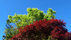 Smooth Japanese Maple (Acer Palmatum) Red & Green colors. Stock Footage