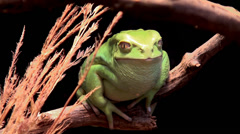 Stock Video Footage of Waxy monkey leaf frog (Phyllomedusa sauvagii).