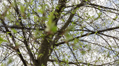 Focus pull throw branches Stock Footage