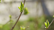 Stock Video Footage of lilac buds in spring