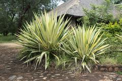 Agave plants in africa Stock Photos