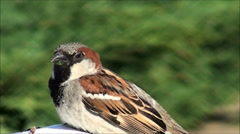 Sparrow songbird chirps Stock Footage