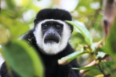 Abyssinian Black and white Colobus or Mantled Guereza Stock Photos