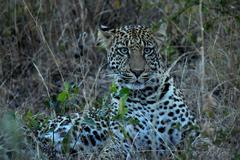 Staring African Leopard in the bush right after sunset - stock photo