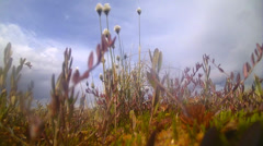 Tundra,  marsh area  of the North with  cotton grass Stock Footage