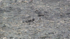 Small bird walks on moraine sediments that dam the lake Stock Footage