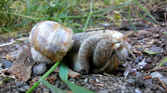 Two big snails have a sex. Closeup view to snail sexual reproduction  action. Stock Footage