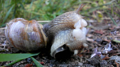 Two big snails have a sex. Very closeup view to snail sexual action. Stock Footage