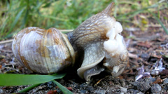 Two big snails have a sex. Very closeup view to snail sexual reproduction. Stock Footage