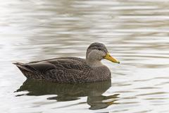A resting Male American Black Duck, Anas rubripes Stock Photos