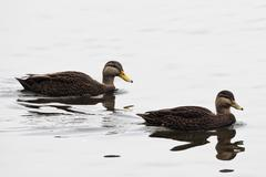 Pair of American Black Duck, Anas rubripes Stock Photos