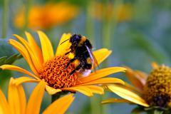 Bumble-bee on a daisy Stock Photos