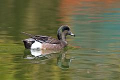 Swimming Male American Wigeon, Anas americana Stock Photos