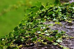 Green creeping ivy Stock Photos