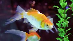 Goldfish (Carassius auratus) swimming in the auqarium Stock Footage