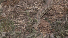 Stock Video Footage of Bull Snake Slithering Along
