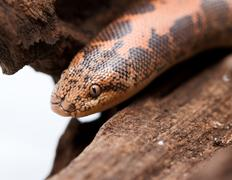 Kenyan Sand Boa Stock Photos