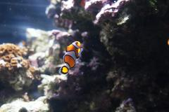 False Clownfish - Amphiprion ocellaris Stock Photos