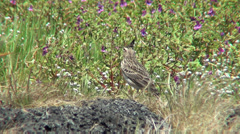 Lark Bird in landscape, on Kaas plateu covered with flowers Stock Footage