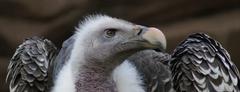 Griffon Vulture - Gyps rueppellii Stock Photos