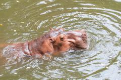 Hippopotamus in the pool Stock Photos