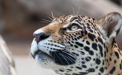 Stare leopard face Stock Photos