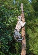 White tiger climbing trees show Stock Photos