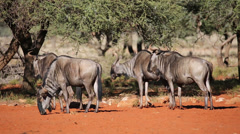 Blue wildebeest Stock Footage