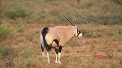 Gemsbok antelope Stock Footage