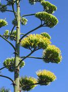 Stock Photo of agave flowers