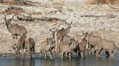Stock Video Footage of Kudu antelopes at waterhole